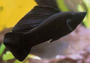 Црна убавина - аквариум риба molliesia. Одгледување и нега