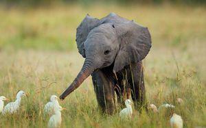 Што слоновите јадат во заробеништво и во дивината