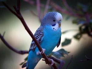 Што да се хранат брановидни папагали