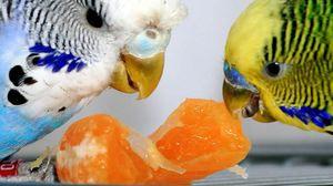 Хранење на брановиден папагал