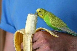 Хранење на брановиден папагал: што може да даде