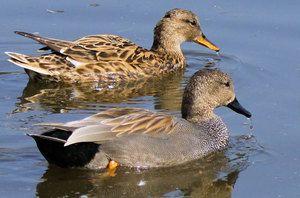 Дива патка: опис, содржина, хранење