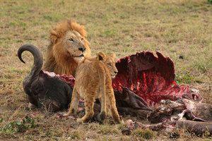 Диви предатори на Африка, карактеристики на видови