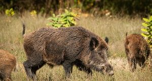 Дива свиња: опсег на живеалишта, животен стил, тежина на дива свиња