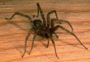 Дома пајаци: главните видови на домашни пајаци