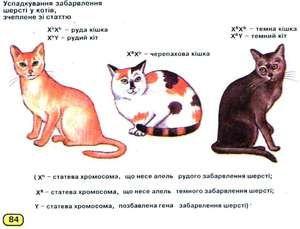 Колку хромозоми кај мачки