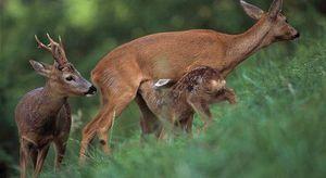Како да се одгледуваат елени и да се населат