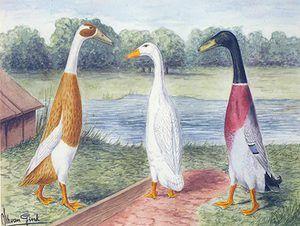 Карактеристики на патка Индискиот лизгач