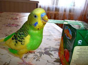 Брановиден папагал