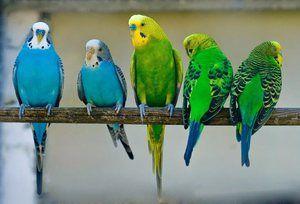 Група на подвижни папагали