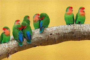 Nerazluchniki - еден вид на папагали