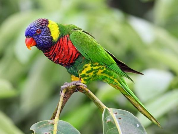 Папагал Лори - папагал на виножито