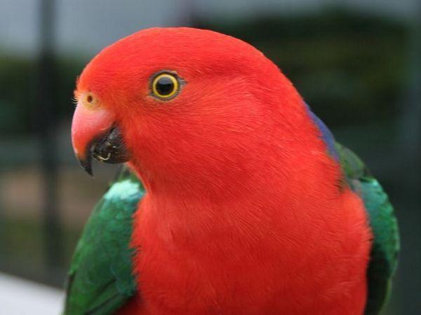 Кралските папагали