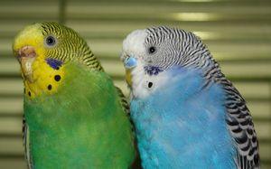 Играчки за брановидни папагали