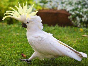 Cockatoo и неговата содржина дома