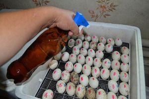 Правила за поставување на јајца во инкубатор