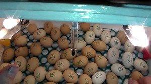 Инкубација на патка јајца