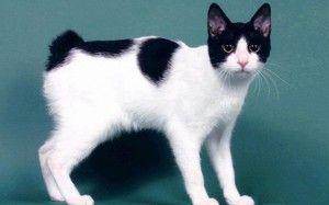 Јапонски Bobtail: карактеристики на мачката раса, грижа, цени
