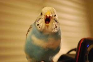 Подучување разговор на папагал од буџетот