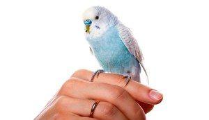 Како брзо да научиме папагал за разговор