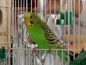Начини на учење на брановиден папагал за разговор
