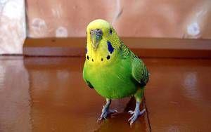Методи за да се научи брановиден папагал за разговор