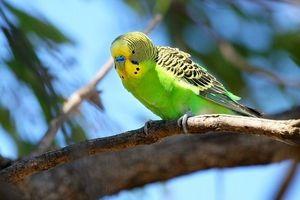 Начини да се знае возраста на брановиден папагал