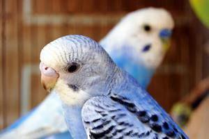 Совети за тоа колку е лесно да се знае возраста на брановиден папагал