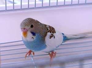 Со какви знаци може да ја дознаете возраста на брановидниот папагал