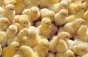 Како правилно да ги идентификуваат симптомите на болеста кај кокошките и да ги третираат