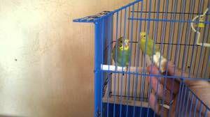 Како да се навикнат на папагалите на нивните раце