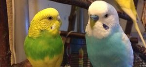 Волни папагали