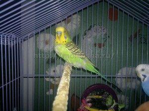 Како да одржувате папагал