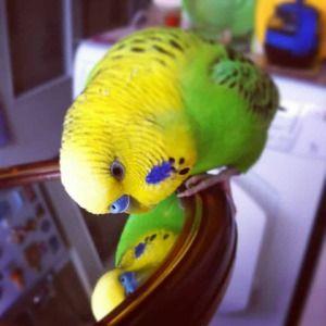 Папагалот и огледалото