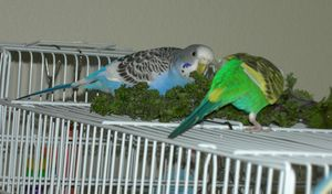 Како да се грижите за папагалите