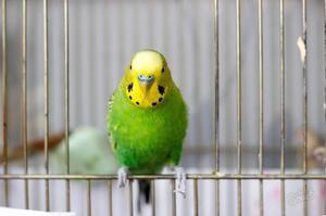 Папагалот во кафезот