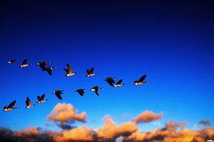 Кои птици прво летаат на југ