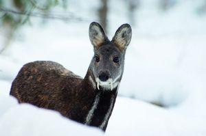 Тајга мошусен елен