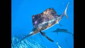 Која е најбрзата риба во светот?