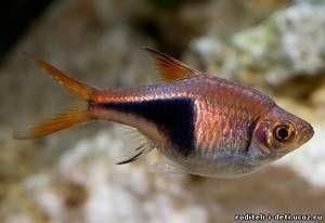 Блотнонистајска сортирање - аквариумска риба