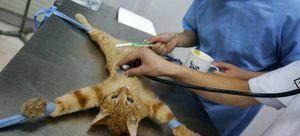 Кога да се стерилизира мачката подобро
