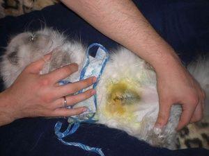 Како се прави стерилизацијата на мачките?