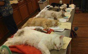 Како мачките се стерилизираат