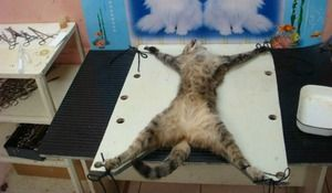 Стерилизација на мачки