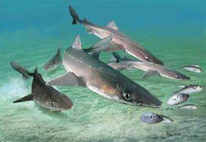 Ајкули