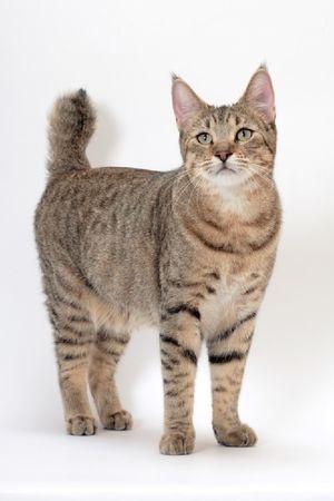 Опис на расата на мачките pixiobob
