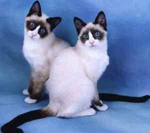 Cat snu shu: карактеристики на раса, одржување и нега