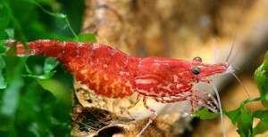 Цреши од ракчиња и нивната точна содржина во аквариумот