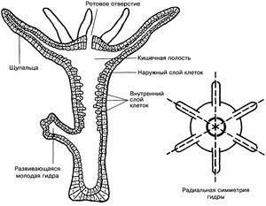 Цревниот полип е друго име за слатководни хидра