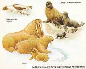 Pinniped цицачи: претставници на редот на pinnipeds